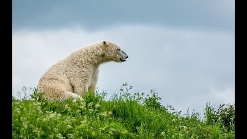 Рассказ Хотел передать привет белому медведю который ждал на зелёной поляне а передал Привет Вам