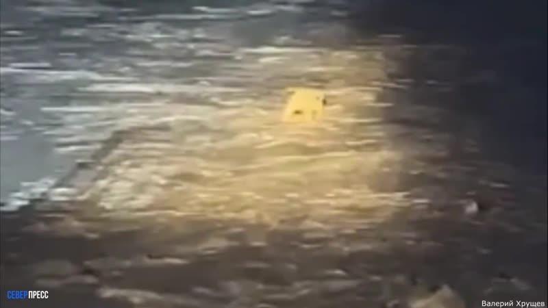 Белый медведь проник на территорию порта Сабетта