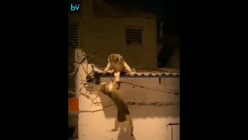 Пожалуй эти два кота сняли переплюнули киноремейк Короля Льва от Disney