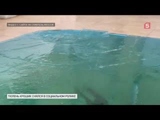 Тюлень Крошик наглядно показал, почему опасно выходить нато