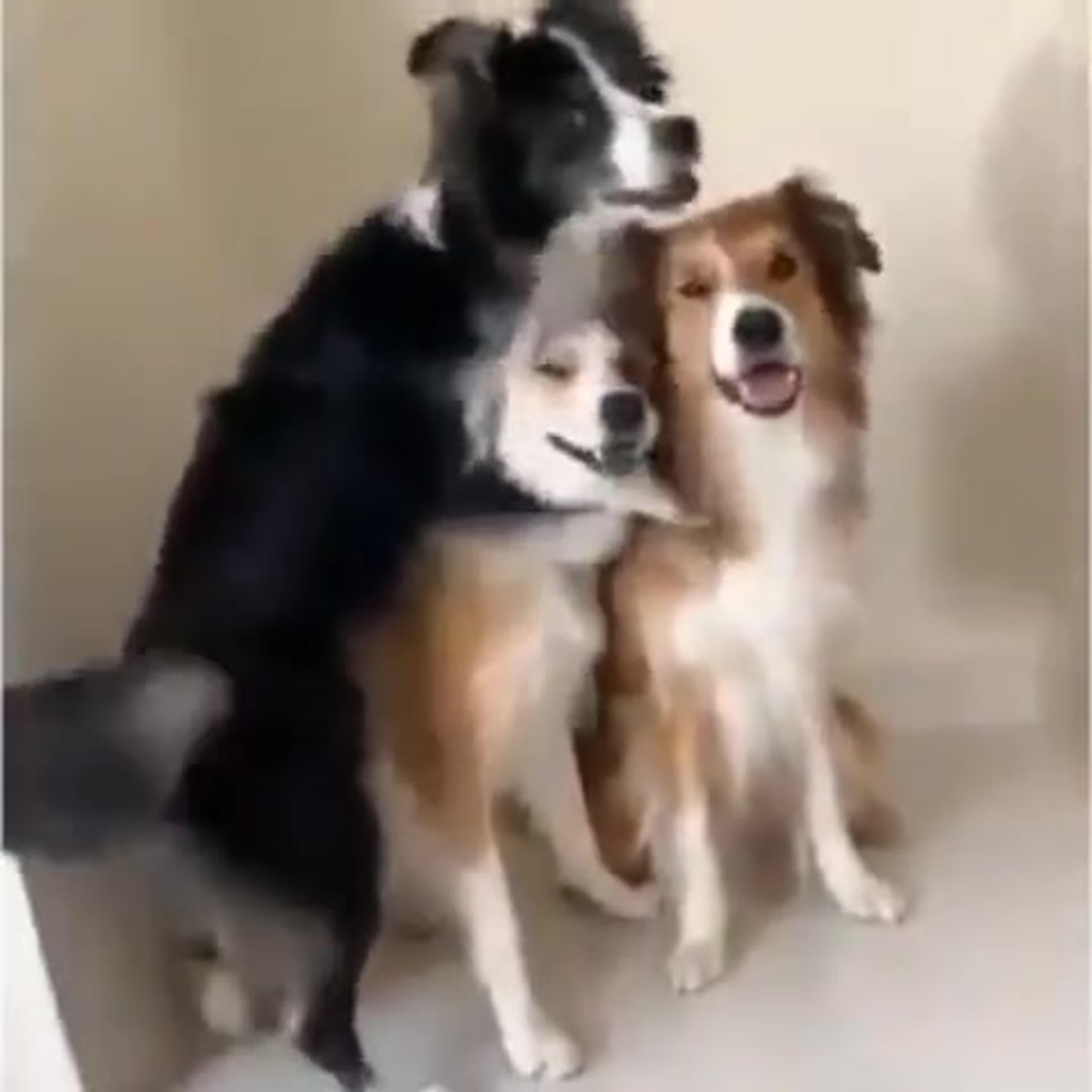 Собаки-улыбаки, позируют,научились