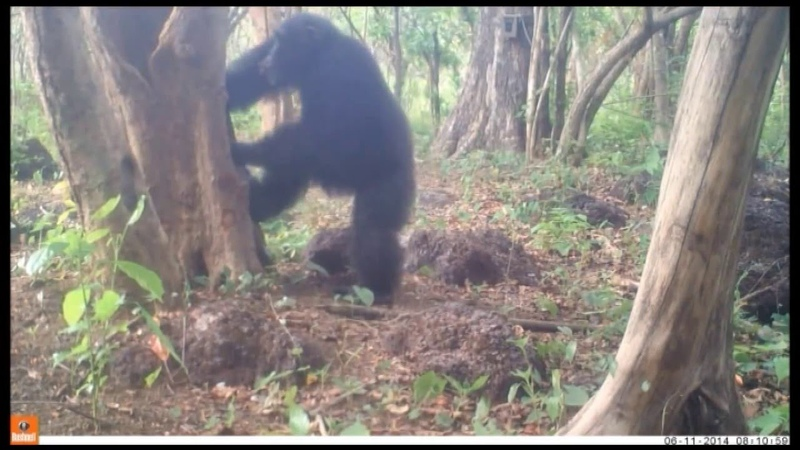Why do chimpanzees throw stones at trees