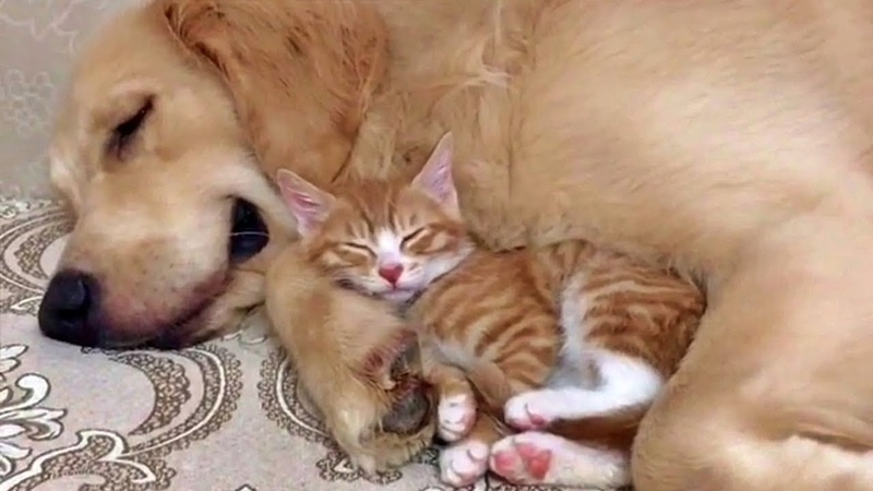 Gentle Golden Retriever and Cuddly Kitten Are Pure Cuteness
