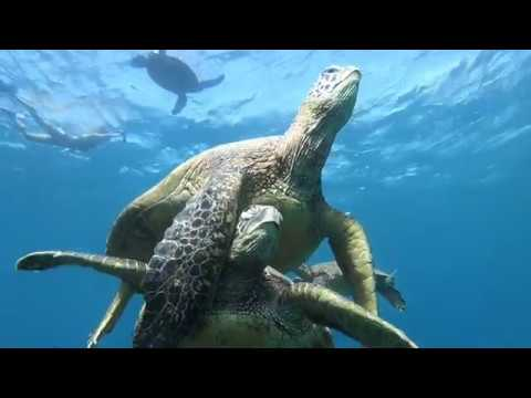 PARADISE FOUND Freediving with a herd of sea turtles rudifreediver