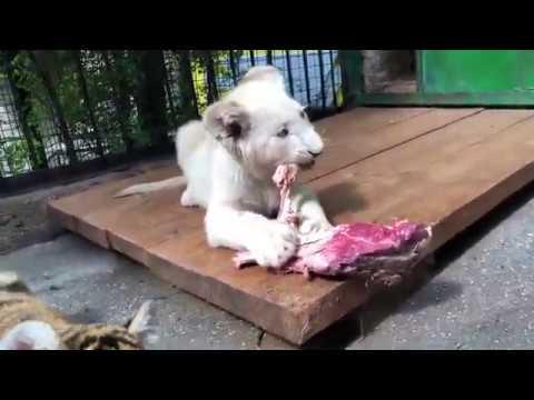 Львенок Амадей и другие львята и тигрята впервые едят мяско на кости