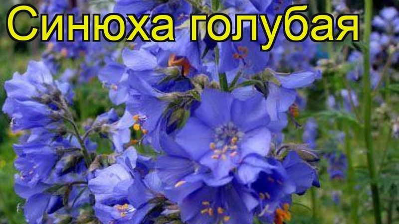 Синюха голубая Краткий обзор Синюха голубая описание характеристик где купить саженцы