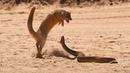 МАНГУСТ - Бесстрашный охотник на змей! Смелый и МАЛЕНЬКИЙ ХИЩНИК в мире животных