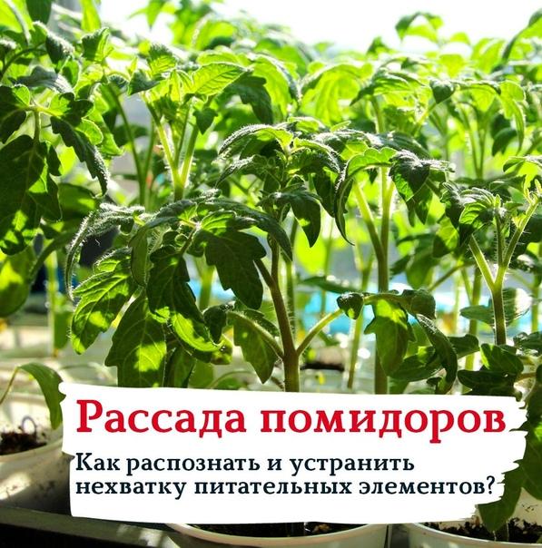 РАССАДА ПОМИДОРОВ: КАК РАСПОЗНАТЬ И УСТРАНИТЬ НЕХВАТКУ ПИТАТЕЛЬНЫХ ЭЛЕМЕНТОВ Пожелтение листьев, появление красных прожилок. Сигнализирует о недостатке азота. Опрыскивайте листочки растения