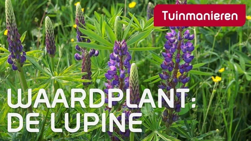 De Lupine | Lente | Tuinmanieren