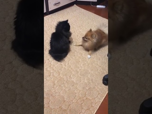 Dog Spins Around Cat Buddy Coaxing Them to Play 1101007 2