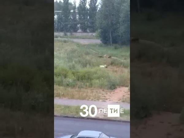 В Казани сняли на видео, как свора бродячих собак загрызла двух коз