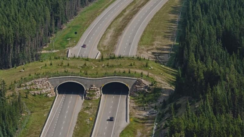 Безопасный путь в США для животных строят мосты через шоссе