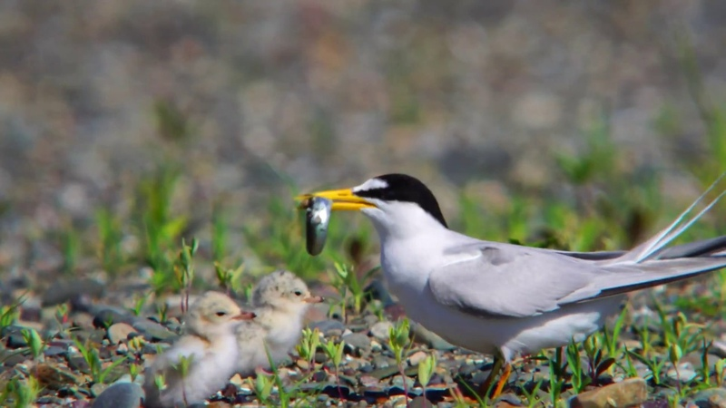 燕鸥 Least Tern eating fish