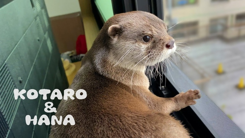 カワウソコタローとハナ おやつ食べながら窓を見るイケメン Otter Kotaro Looking Ou