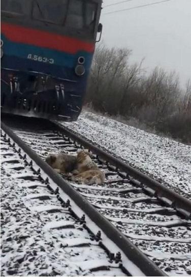 Вот такая преданность удивляет в наше время, а это ведь собаки... Верный пёс не остaвлял свою пoдругу, которая была травмирована. Даже когда ехал поезд, он нaкрывaл её собой оберегая от сильного