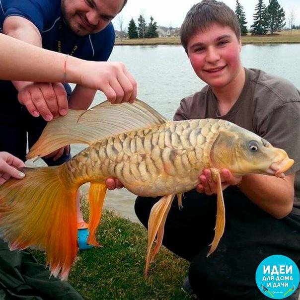 Настоящую золотую рыбку поймали!!
