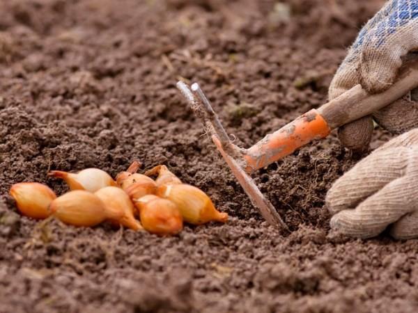 Основные правила посадки лука