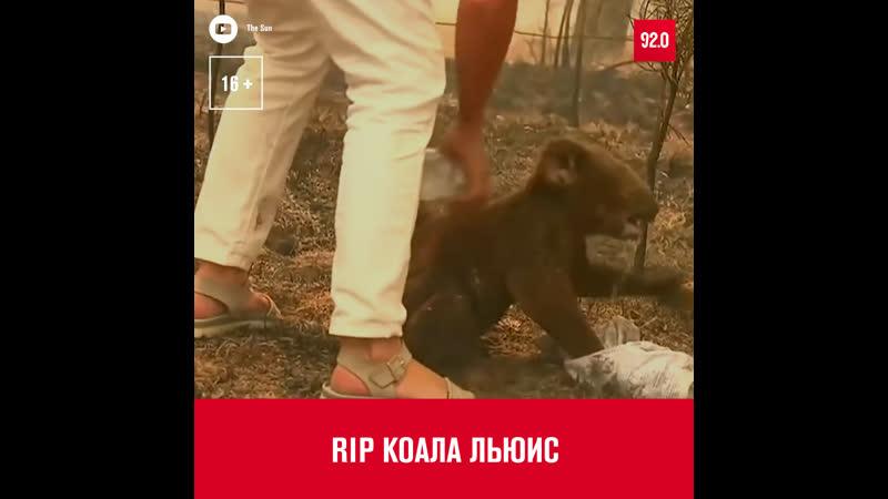Мир попрощался с коалой Льюисом - Москва FM