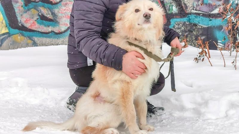 Сначала будете плакать Потом улыбаться Спасение бездомной собаки Снежка после нападения алабая