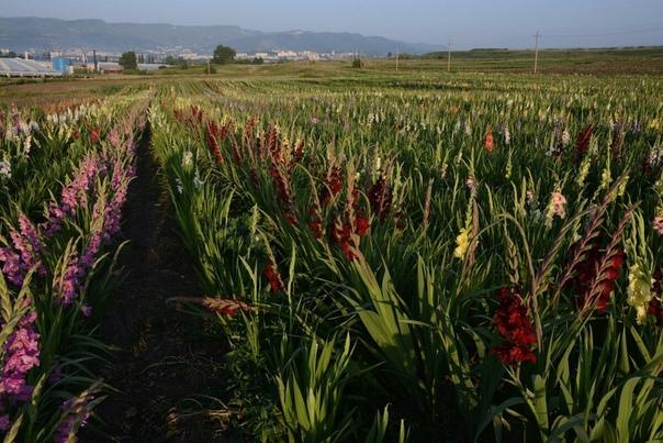 Кто любит цветы и особенно гладиолусы, думаю поймет мой восторг даже просто увидев фотографию