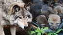 Старый волк нашел в лесу МАЛЕНЬКИХ ВОЛЧАТ. Они были слабы, а их мать пропала