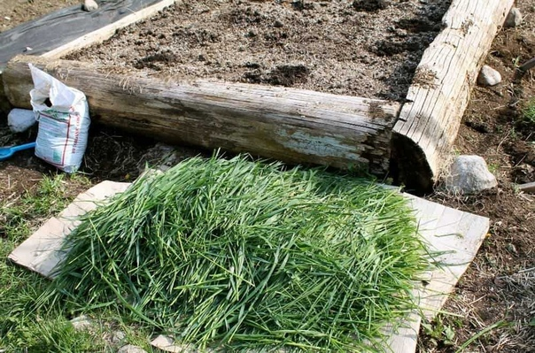Плохая почва не проблема, или Как я выращиваю овощи в траве. Сколько людей мечтает о земле «палку воткни вырастет», завидуя украинским чернозёмам! И покупают машинами этот чернозём себе на