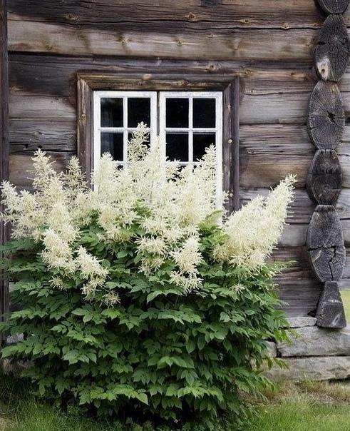 Универсальное многолетнее растение волжанка пользуется большой популярностью в ландшафтном дизайне