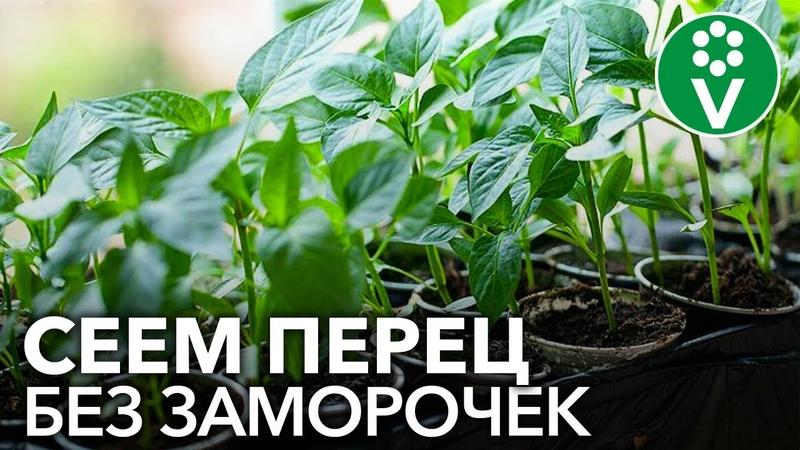 СЕЕМ ПЕРЕЦ НА РАССАДУ В 2021 ГОДУ: сроки посева подготовка семян распространенные ошибки