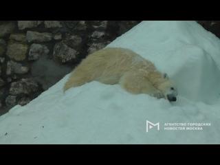 Белая медведица Томпа, спасенная летом в Якутии, р...