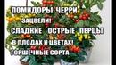 Помидоры Черри в горшках ,перцы в горшках уже в цветах и плодах.Сорта,выращивание помидор и перцев