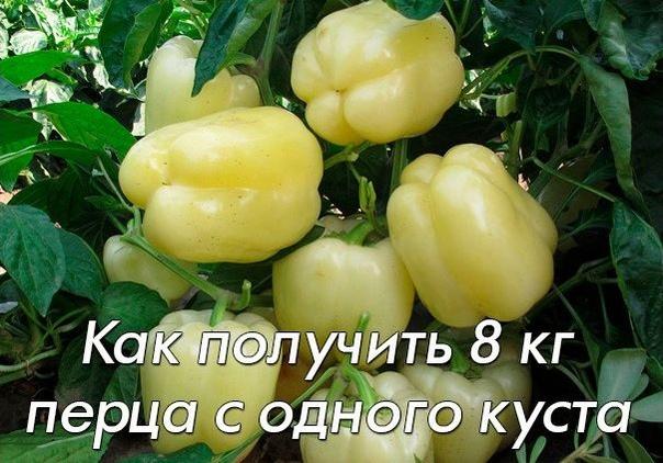Как вырастить 8 килограмм перца с одного куста