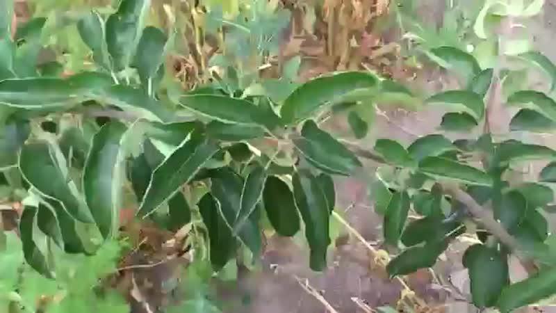 Старый, проверенный способ борьбы с тлей и муравьями -Школа цветоводства и садоводства
