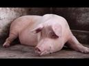 кузьмасвин поражает воображение своим свинячьим визгом