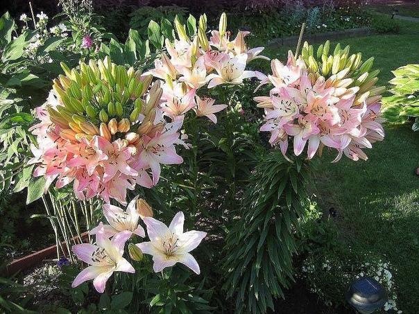 Та самая лилия, которая на одном стебле имеет 100 цветков!