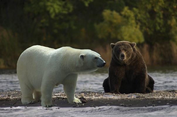 Заметки о животных Что за зверь получится, если скрестить белого медведя с бурым Давно известно, что скрещивание межвидовых животных с эволюционной точки зрения может привести к появлению
