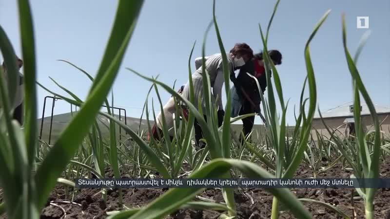 Հարթագյուղում հոլանդացիների օգնությամբ ստեղծված փորձադաշտում նոր բույսեր են փորձարկվում mp4