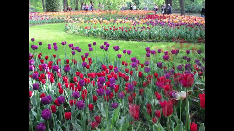 Фестиваль тюльпанов 2019 С Петербург